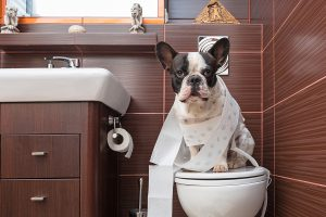 French bulldog sitting on toilet at home